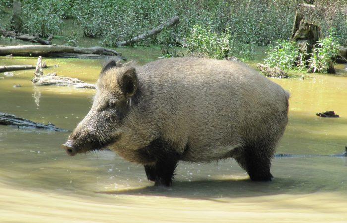 Wild boar standing in water