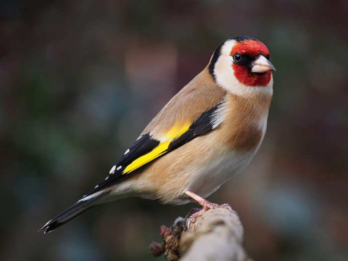 European Goldfinch perched on a branch.